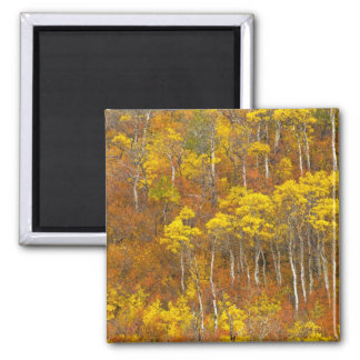Quaking aspen grove in peak autumn color in 2 square magnet
