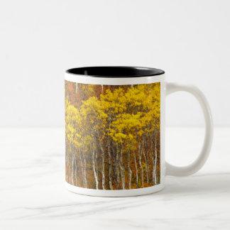 Quaking aspen grove in peak autumn color in 2 Two-Tone coffee mug