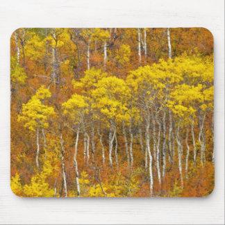 Quaking aspen grove in peak autumn color in mouse mat