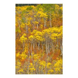 Quaking aspen grove in peak autumn color in photo print