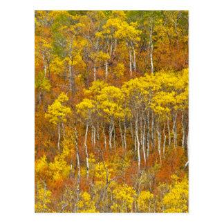 Quaking aspen grove in peak autumn color in postcard