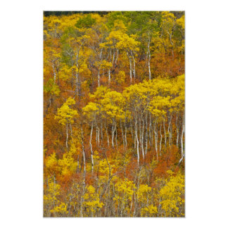 Quaking aspen grove in peak autumn color in poster