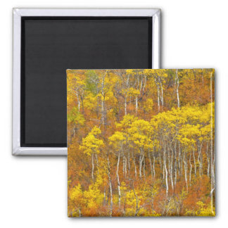 Quaking aspen grove in peak autumn color in square magnet
