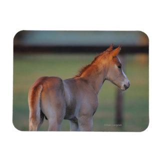 Quarter Horse Foal Rectangular Photo Magnet