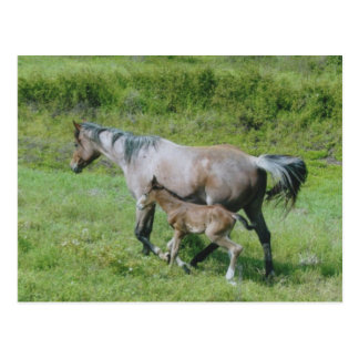Quarter Horse Mare with Foal at Side Post Cards