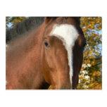 Quarter Horse Postcard