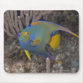Queen Angelfish (Holacanthus ciliaris) swimming Mouse Mat