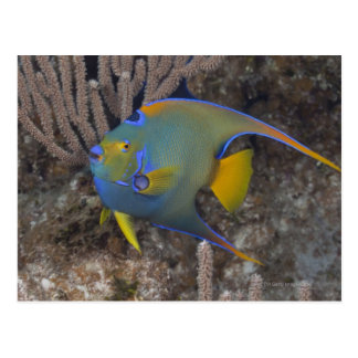 Queen Angelfish (Holacanthus ciliaris) swimming Postcard