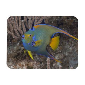 Queen Angelfish (Holacanthus ciliaris) swimming Rectangular Photo Magnet