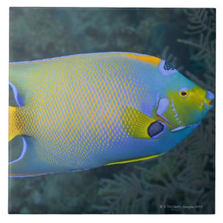 Queen Angelfish Tile