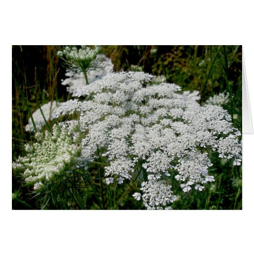 Queen Anne's Lace Note Card