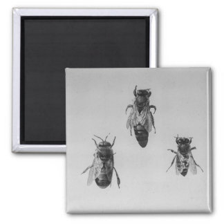 Queen Drone Worker Bee Keeping Apiology Apiarist Square Magnet