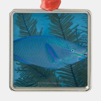 Queen Parrotfish (Scarus vetula) swimming over Silver-Colored Square Decoration
