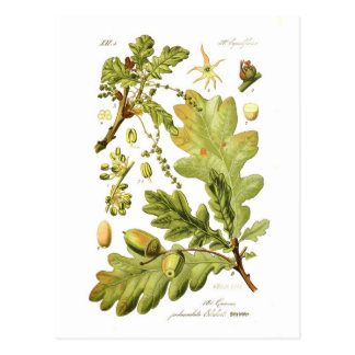 Quercus pedunculata (English Oak) Postcard