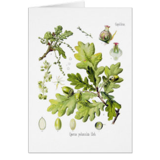 Quercus pedunculata : syn.Q robur. (English Oak) Card