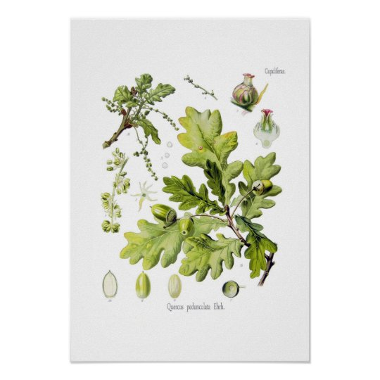 Quercus pedunculata : syn.Q robur. (English Oak) Poster
