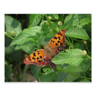 Question Mark Butterfly on Lantana Poster