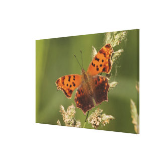 Question Mark butterfly, Polygonia Canvas Print