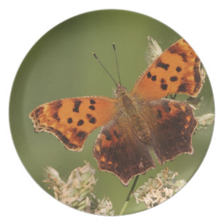 Question Mark butterfly, Polygonia Plate