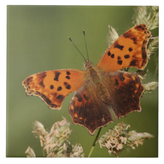 Question Mark butterfly, Polygonia Tile