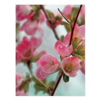 Quince Blossoms Postcard