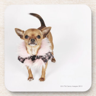 Quirky portrait of a Teacup Chihuahua Beverage Coasters