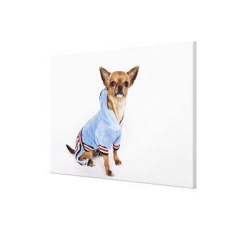 Quirky portrait of a Teacup Chihuahua Canvas Print