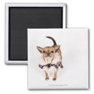 Quirky portrait of a Teacup Chihuahua Magnet
