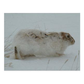 R0007 Snowshoe Hare Postcard