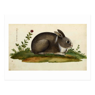 Rabbit Italiano Postcards