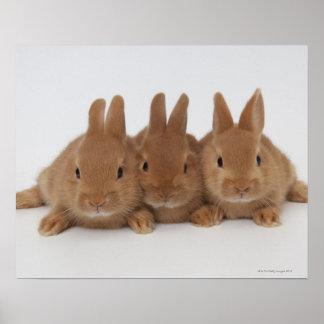 Rabbits.Netherland Dwarfs. Poster