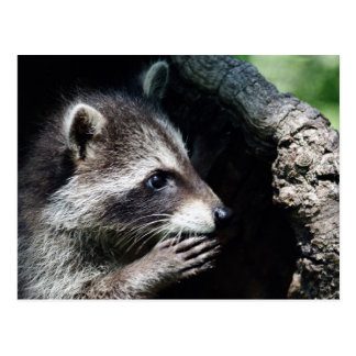 Raccoon Begging Postcard