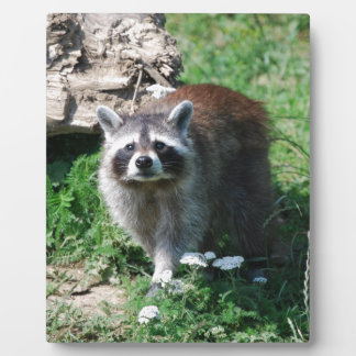 Raccoon Display Plaque