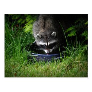 Raccoon Drinking Postcard