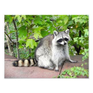 Raccoon on Old Car Hood Photographic Print