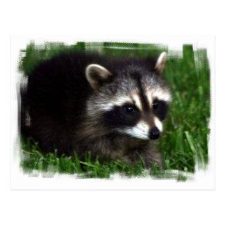 Raccoon Photo Postcard