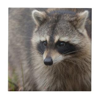 Raccoon, Procyon lotor, Florida, USA 1 Tile