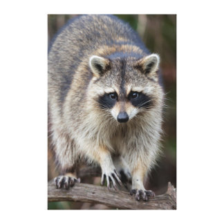Raccoon, Procyon lotor, Florida, USA 2 Gallery Wrapped Canvas