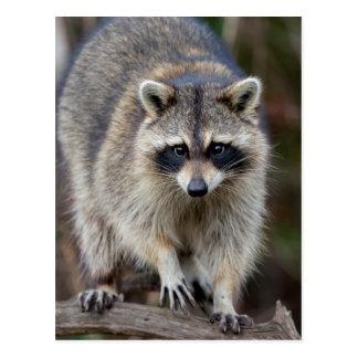 Raccoon, Procyon lotor, Florida, USA 2 Postcard