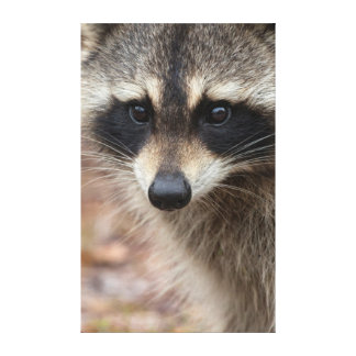 Raccoon, Procyon lotor, Florida, USA 3 Gallery Wrap Canvas