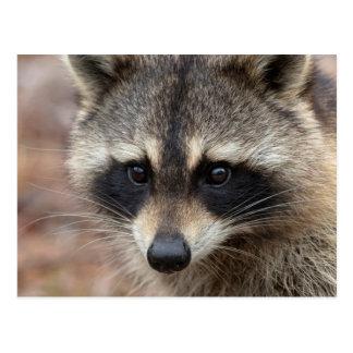 Raccoon, Procyon lotor, Florida, USA 3 Postcard