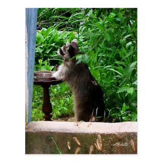 Raccoon  Raiding Bird Feeder Postcard