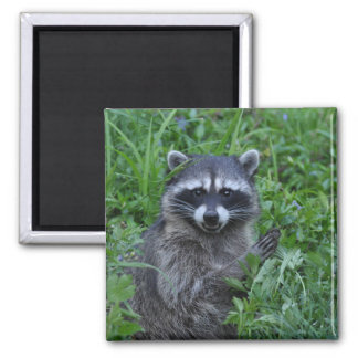 Raccoon Smiling Square Magnet
