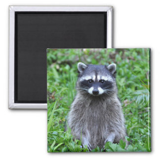 Raccoon Standing Square Magnet