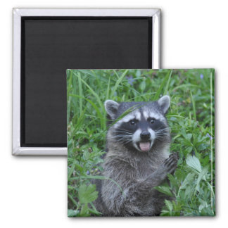 Raccoon Sticking its Tongue Out :) Square Magnet