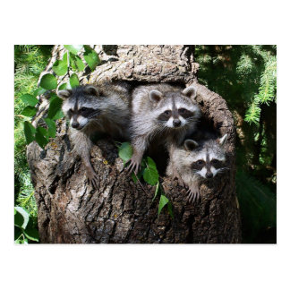 Raccoon - The Three Amigos Postcard