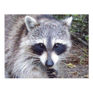 Raccoon Wildlife Series # 8 Postcard