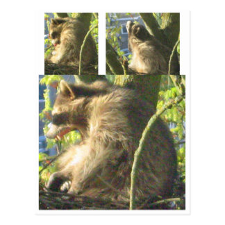 Raccoon Yawning Postcard