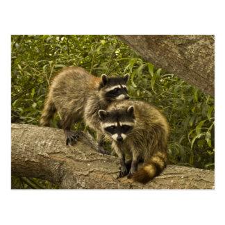 Raccoons Postcard