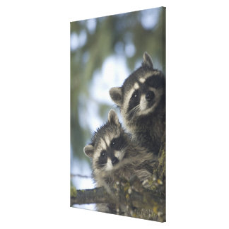Raccoons Procyon Lotor) of Fish Lake, Central Canvas Print